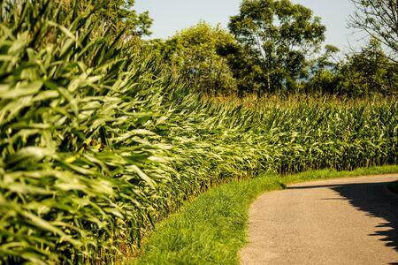 corn field in summer in Germany