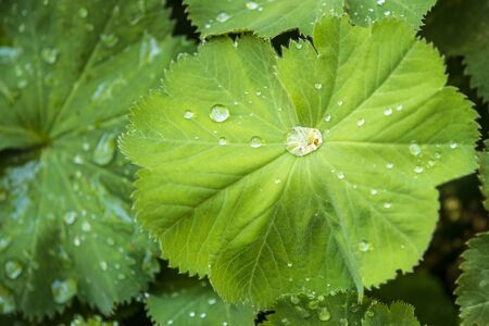 lady`s mantle with dew drops Banco de Imagens