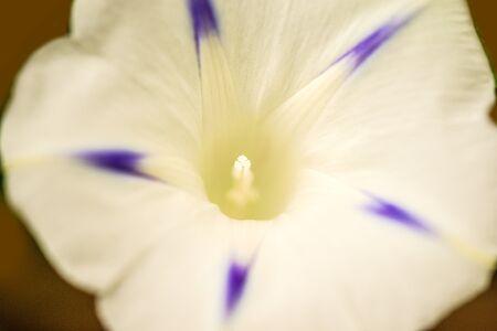morning glory with flower, drug of the aztecs 版權商用圖片