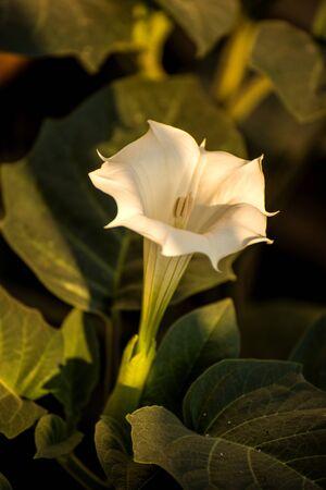 Datura stramonium, thorn-apple with flower Фото со стока
