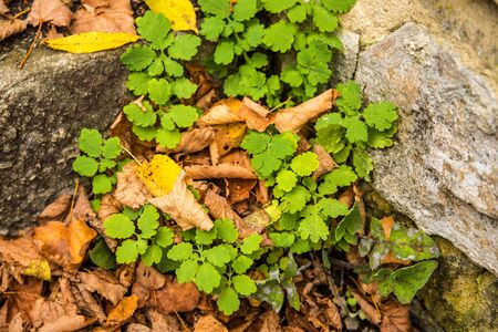 Celandine, Chelidonium majus, medicinal herb at an old castle wall with fallen autumnal painted leaves Banco de Imagens