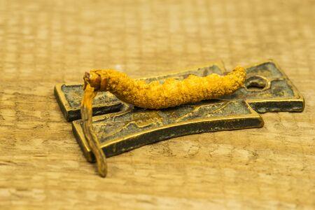 caterpillar fungus, medicine of the traditional Tibetian medicine