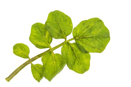Watercress, fresh green leaf cut out on white background