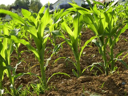 corn field with young plants