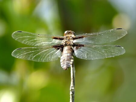 female Broad-bodied chaser sitting on a leaf