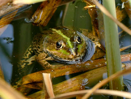 common water frog in a pond in Germany