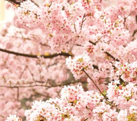 fleur de cerisier: fleur de cerisier
