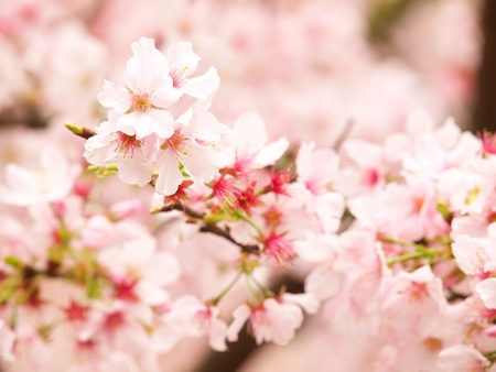 CHERRY FLOWER photo
