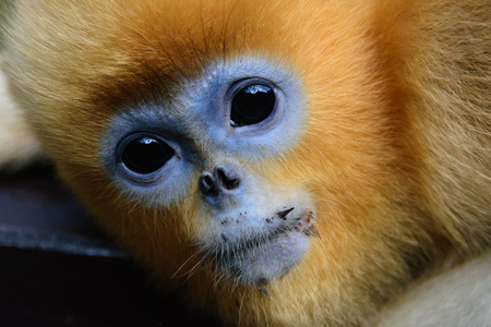 A golden Snub-nosed monkey close up
