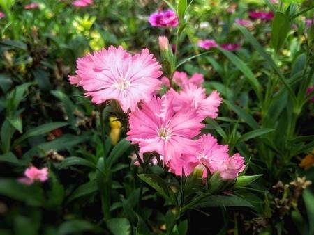 Dianthus flowers Banco de Imagens