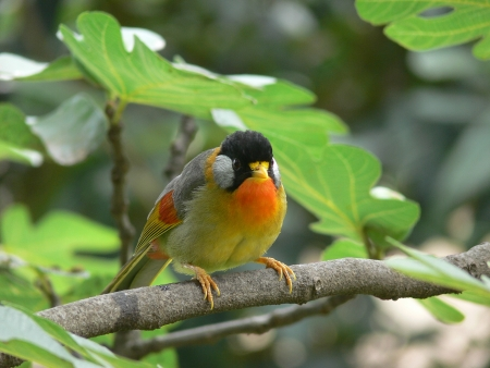red billed leiothrix: rest on the branches of the red-billed leiothrix Stock Photo