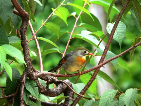 red billed leiothrix: Rest on the branches of the red-billed leiothrix