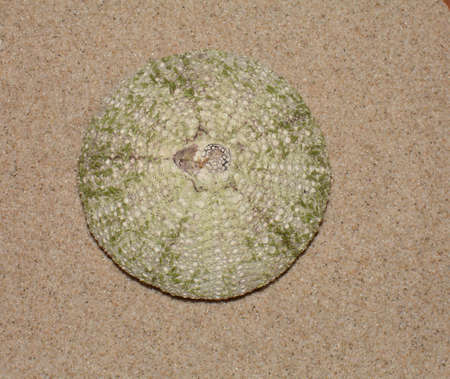 pilluelo: Urchin  Foto de archivo