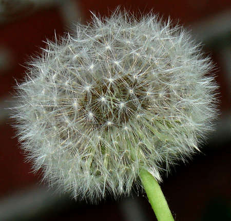 Egret  of dandelion Stok Fotoğraf