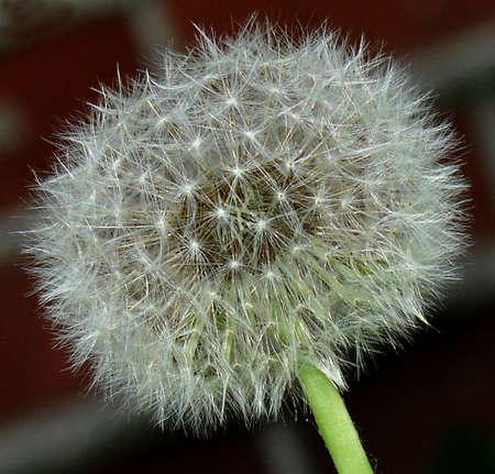 Egret  of dandelion photo