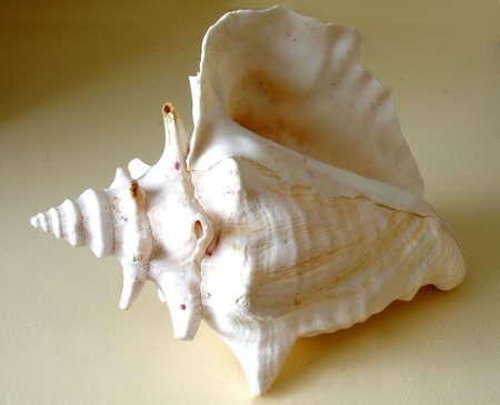 seashell,