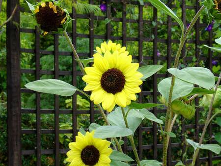 Sunflowers in a public garden Reklamní fotografie