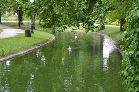 swan in public park
