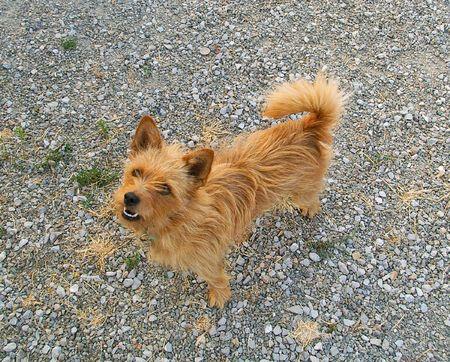 redish brown norflk dog Stok Fotoğraf