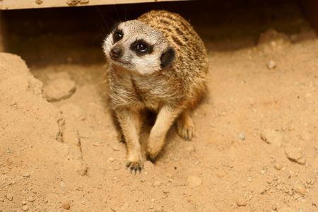 Slender-tailed Meercat in Polish Zoo photo