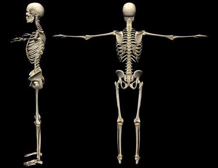 x ray image: 3D human skeleton medical illustration