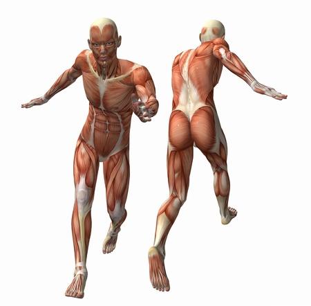 anatomia humana: Modelo de los m�sculos 3d