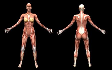 3D render human anatomy  muscles