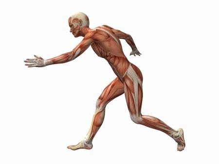 sinew: muscle man , male Body