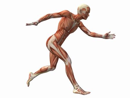 sinew: muscle man , male Body Anatomy  Stock Photo