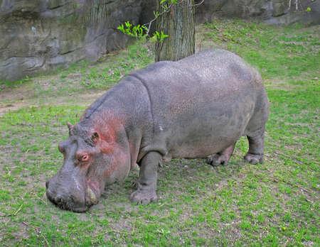 hippopotamus Standard-Bild