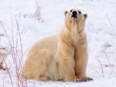 polar bear Stock Photo - 936270
