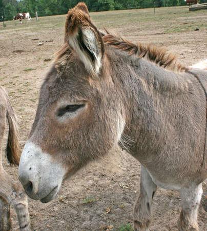 burro: western wild burro Stock Photo