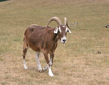 A solas con la cabra caminando hacia la cámara  Foto de archivo