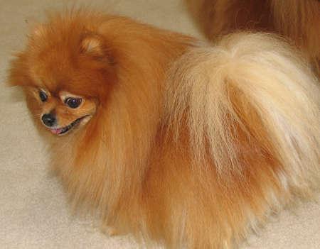A cute female pomeranian dog full-grown Stock Photo