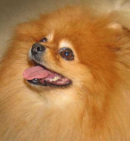 A cute pomeranian dog looking up Stock Photo