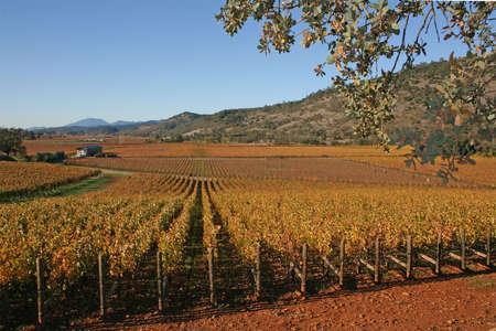 A Napa vineyard in the autumn sun