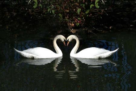 Dos cisnes en forma de coraz�n  Foto de archivo - 3057317