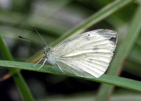 cabbage moth