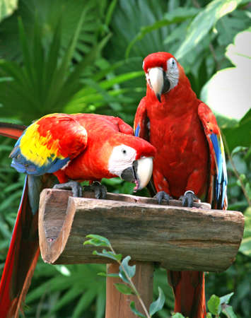 inseparable: tropical parrots at feeder in Mexico