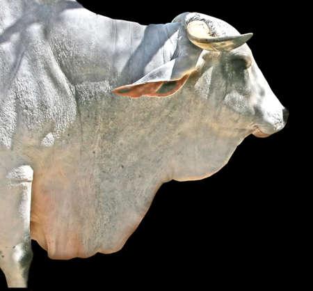 bullock animal: a water buffalo or bull in Mexico