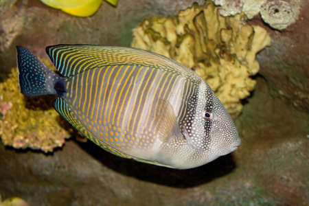 a tropical Fringed Tang against yellow coral Stock Photo
