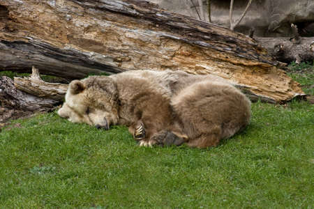 a large, sleeping brown grizzly or kodiak bear photo