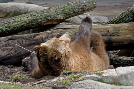 kodiak: a large, brown grizzly or kodiak bear rolling on the ground