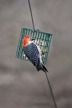 birdwatching: a red-bellied woodpecker at a suet feeder Stock Photo