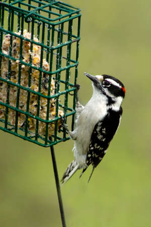 downy woodpecker: a male downy woodpecker at a suet feeder Stock Photo