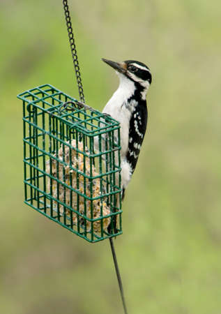 downy woodpecker: a male downy woodpecker at a suet feeder Stock Photo