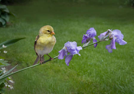a female goldfinch perched on lavender irises photo