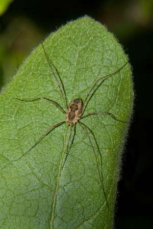 een vader-lange benen of harvestman-niet als een echte spin