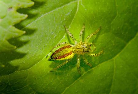 een rood-gestreepte spin, misschien een jumping spider met doorschijnende benen
