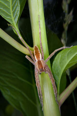 nursery web spider: a nursery web spider perched on a poke weed stem Stock Photo
